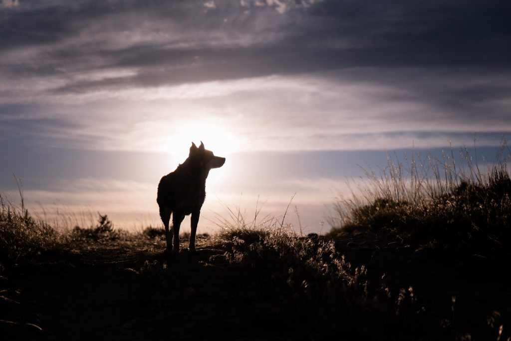Wolf on a horizon during dusk